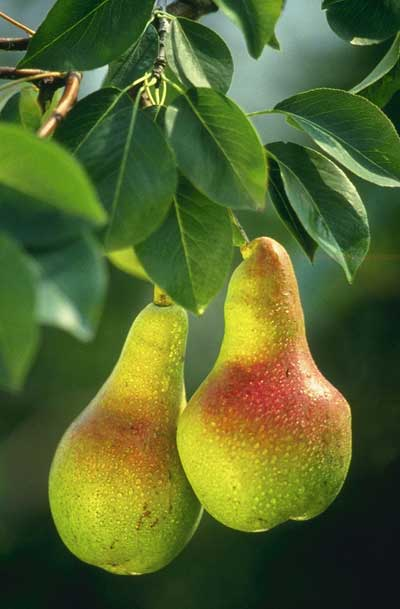 pears gealth benefits