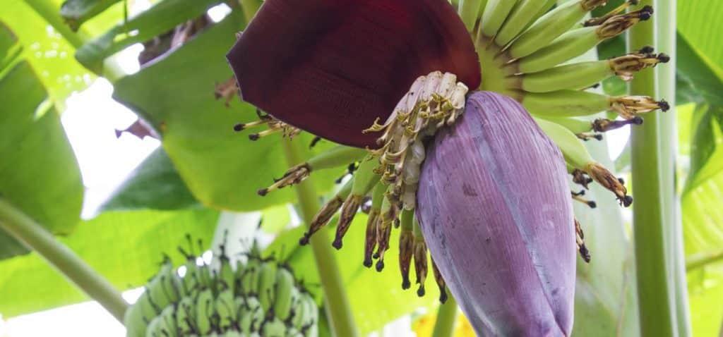 Health Benefits of Banana Flowers