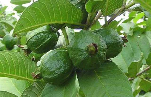 Guava leave Ayurvedic Medicine