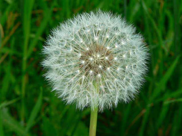 The health benefits of dandelion flower