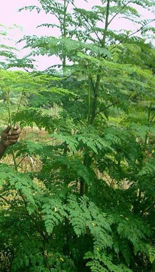 health benefits of moringa 1
