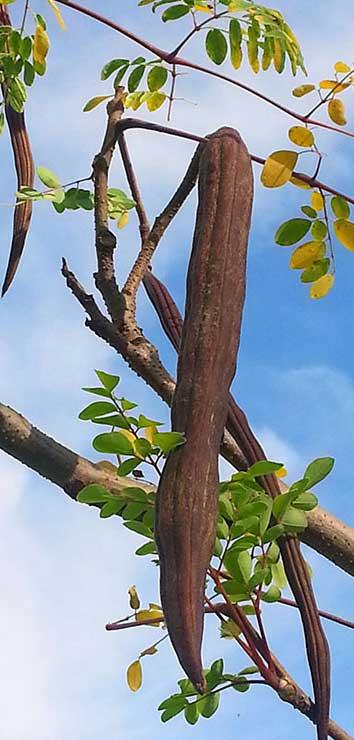 Moringa Oleifera benefits for health
