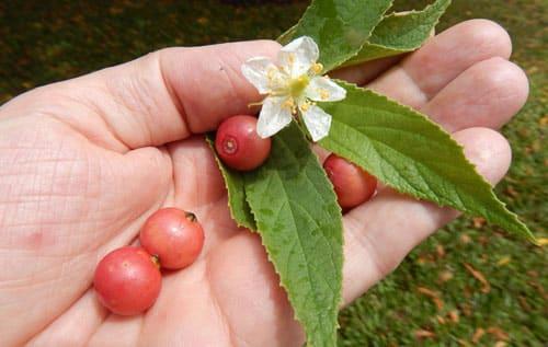 health benefits of kerson fruit reduce blood pressure