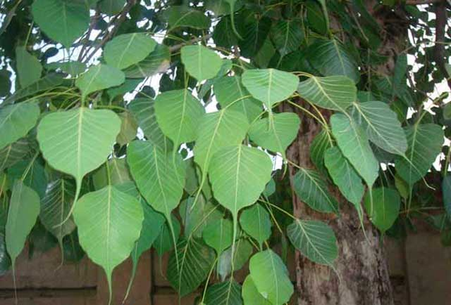 Birch leaves for treating giardiasis