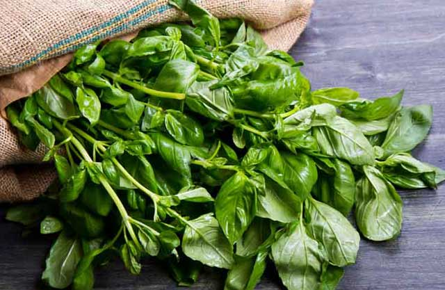 essential oils for gout, basil oil
