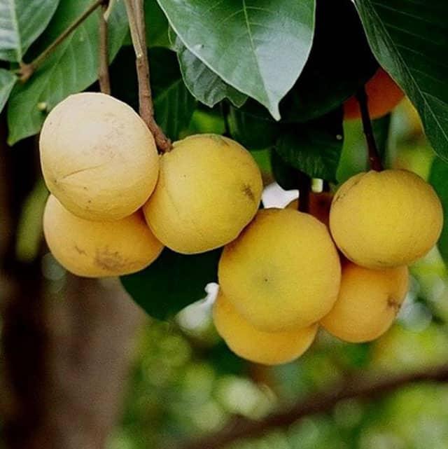 santol fruit health benefits