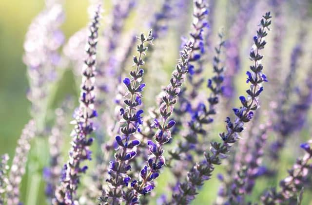 Clry sage Essential Oils For Menstrual Pain